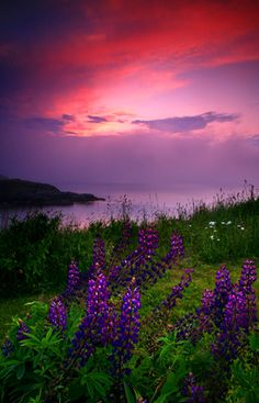 MAINE Monhegan Island Lupine Sunset Fog
