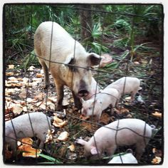 """Hogs...""""don't pull their tails, their tails will come off!""""  Daddy always said."""