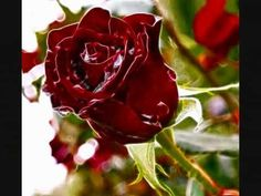 Here to Beautiful Texas Rose ! I love You Ashlyn Nicole Howard - Bellah I miss ya! Beautiful Red Roses, 1 Rose, Good Morning Quotes, Best Songs, Plants, Greek, Texas, Facebook, Google