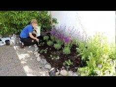 Plantera perenna växter med Blomsterlandet videotips för hur du bäst planterar dina perenner.