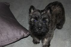 faustyne ! cairn terrier