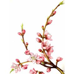 Vintage Flower Print - Botanical Print - Flowering Peach Tree - Peach... (134.430 IDR) ❤ liked on Polyvore featuring home, home decor, wall art, flowers, backgrounds, fillers, art, quotes, phrase and saying