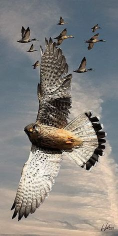 The Peregrine Falcon - Worlds Fastest Bird