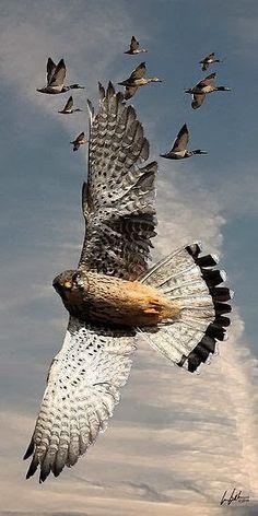 The Peregrine Falcon - Worlds Fastest Bird
