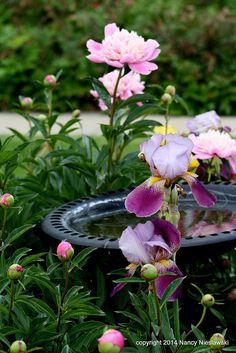 Bird Bath and Irises