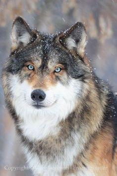Gorgeous Wolf!