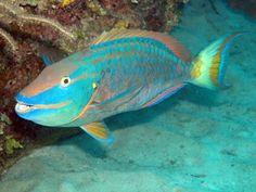 Queen Parrotfish (Scarus vetula) - Caribbean