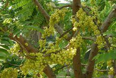 ต้นมะยม รับถมที่ ปลุกต้นไม้