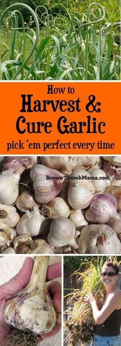 How to Harvest & Cure Garlic is part of Garden - Garlic is easy to grow! Here are important tips to ensure you harvest and cure your garlic correctly, so it won't spoil or sprout before you can use it Edible Garden, Easy Garden, Garden Tips, Garden Ideas, Box Garden, Balcony Garden, Organic Vegetables, Growing Vegetables, Growing Tomatoes