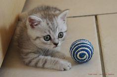 Ilton, chaton mâle british shorthair blue silver shaded le 9 juillet. Disponible à partir du 3 Août 213. Crédit photo : Bernadette Capparos