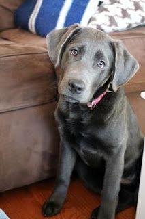 Past Litters Labrador Retriever Labrador Retriever Puppies
