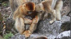 Новости про животных: Китайские обезьяны помогают друг другу принимать р...