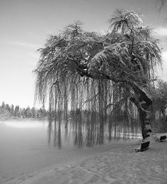 Weeping willow trees <3 so pretty with such a sad name I PLAYED UNDER MY TREE IN MY YARD WHEN I WS A KID