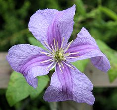 Clematis  'Emilia Plater, bred by Brother Stefan Franczak