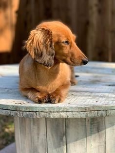 Maxx at the peak of his daily exercise regimen💙 Wiener Dogs, Dachshund Puppies, Cute Sketches, Miniature Dachshunds, Daily Exercise, Sausage Dogs, Dog Shaming, Labs, Dog Pictures