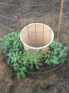This tomato growing hack has been pinned over 161k times on Pinterest and you will INSTANTLY see why!