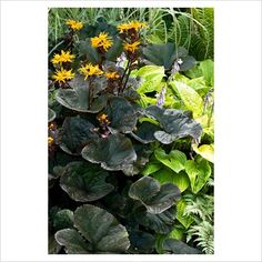 ligularia dentata 'britt-marie crawford' and hosta