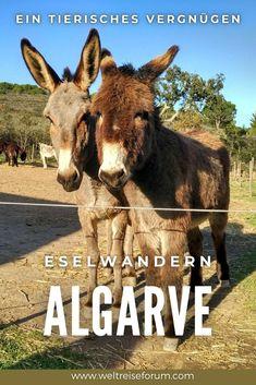 Mit dem Esel auf den alten Wanderwegen in der Algarve unterwegs zu sein, ist ein einzigartiges Erlebnis, das nicht nur Tierfreunde bereichert. Hier zeige ich dir, wo du das selber ausprobieren kannst. #portugal #algarve #eselwandern