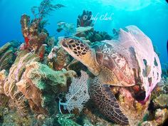 Turtle Olive Ridley, Turtle Love, Wild Creatures, Under The Sea, Roatan, Sea Turtles, Honduras, Scuba Diving, Animals