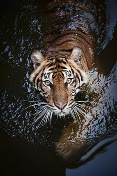 Tiger by Robert Cinega on Most Beautiful Animals, Majestic Animals, Beautiful Cats, Beautiful Creatures, Beautiful Images, Nature Animals, Animals And Pets, Baby Animals, Cute Animals