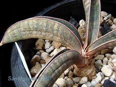 サンセベリアの館 Sansevieria sp. Red Bat