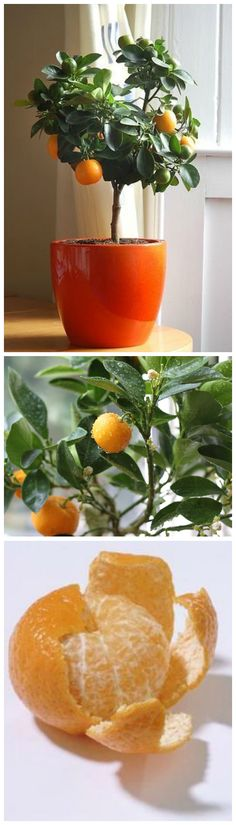 How to Grow a Clementine Tree in Your House