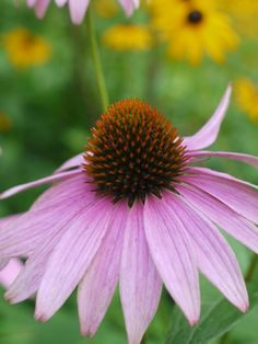 Purple-coneflower1-768x1024