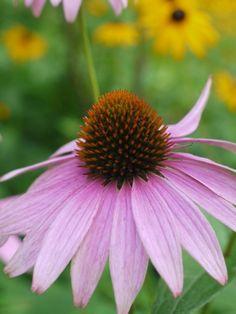Purple-coneflower1-768x1024