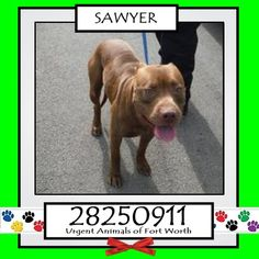 **Fort Worth, TX - Current Status: IMMEDIATE TAG NEEDED - Scheduled for euthanasia 7/4  Reason for URGENT: Heartworm Positive  Animal ID: 28250911 Name: Sawyer Breed: Pit Bull Sex: Male Age: 5 years Heartworm Positive  https://www.facebook.com/fwaccurgents/photos/a.866615710077191.1073742653.137921312946638/886262301445865/?type=3&theater