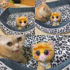 わたしのベッドよ!!!!😾💕 .  #ナポレオン #ミヌエット #マンチカン #ペルシャ #猫 #短足猫 #短足部  #子猫 #にゃんすたぐらむ #にゃんだふるらいふ #かわいい #cat #cute #love #愛猫 #instacat #instalike #instagood #instagram