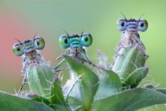 3 damselflies looking at me- this is such an interesting shot.