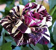 The beautiful Black Dragon Rose