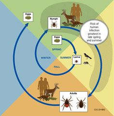 Deer tick life cycle diagram per the CDC.