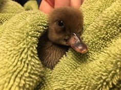 adorable baby duck after bath
