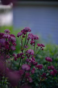 Damastbloem hesperis matronalis of nachtviolier ruikt heerlijk en licht op in het avondlicht - Ondersteuning fer smeden ...