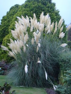 pretty pampas grass I wish I could get mine to look like that. Live in the wrong plant zone. Outdoor Plants, Garden Plants, Outdoor Gardens, Garden Yard Ideas, Lawn And Garden, Ornamental Grasses, Dream Garden, Backyard Landscaping, Garden Inspiration