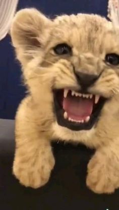 Cute Wild Animals, Baby Animals Super Cute, Cute Funny Animals, Animals Beautiful, Animals And Pets, Baby Lion Cubs, Pet Lion, Funny Animal Videos, Funny Animal Pictures