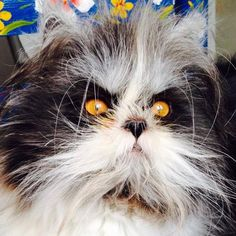 Meet Atchoum, the 9-month-old creepy cat from Quebec who is winning over the Internet with his long hair and strange gaze.  His signature style is actually the result of a hormonal disorder called hypertrichosis, which makes him look more like a cute little werewolf or a wizard than a cat.