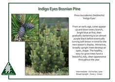 Indigo Eyes Bosnian Pine Pinus leucodermis (heldreichii) 'Indigo Eyes' demands attention and deserves greater use in gardens. From an early age, cones appear up and down every branch… Evergreen Trees, Trees And Shrubs, Indigo Eyes, Deck Landscaping, For Sale Sign, Growing Tree, Garden Projects, Purple And Black, Pine