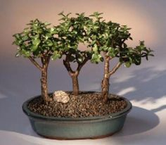 "The World of Real Bonsai by Oxemegifts.com-This succulent bonsai, also known as the ""Elephant Bush"", is native to South Africa and has pale green leaves that are almost round and about one-third the size of the common Jade plant. The fleshy trunk, branches, and leaves are used to store water. An excellent bonsai tree for the home of office. We pot 3 trees together in a pot to give the appearance of a grove or forest scene.3 tree group, each 4-5 years old, 9"" tallRecommended bonsai tree…"