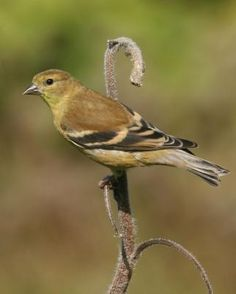 American Goldfinch (female).  Both sexes are duller in color in the winter Winter colors for both sexes