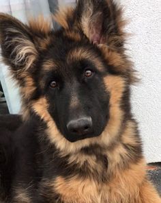Do you love cute dogs like this, F-Cute German Shepherd ….Do you love Gsd Dog, Gsd Puppies, Cute Puppies, Dog Cat, Puppy Husky, Mastiff Puppies, Dogs Pitbull, Baby Puppies, German Dogs