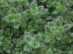 Wooly thyme (Thymus Lanuginosus):  A favorite ground cover in  fairy gardens that spreads quickly.  This gorgeous and hardy groundcover is ideal for outdoor gardens and fairly bunny proof.