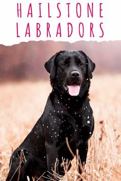 Hailstone Labradors - A Guide To An Uncommon Labrador Color Fun Facts About Dogs, Dog Facts, Black Labrador Retriever, Happy Puppy, Puppy Care, Black Labs, Labradors, Dog Quotes, Dog Owners