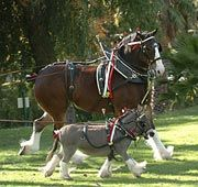 budweiser clydesdales super bowl | ... ' the donkey tries to keep up with 'Turbo,' a Budweiser Clydesdale
