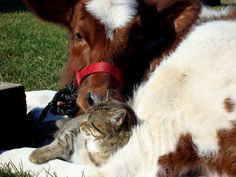 "A Calf with its Favorite Cat -  It's ""udderly"" cute! 