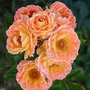 Ground Cover Rose Euphoria