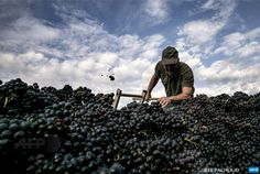 FRANCE, Montmelas-Saint-Sorlin :A picker collects grappes during the harvest on September 17, 2014 in the Marquis de Montmelas domain in Montmelas-Saint-Sorlin, central eastern France. AFP PHOTO / JEFF PACHOUD