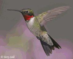 colibrí garganta rubí - Buscar con Google