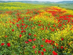 Wildflower Meadow, Val dOrcia, Tuscany, Italy  Travel Library Limited / SuperStoc